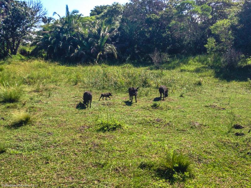 isimangaliso animals