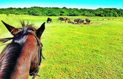 isimangaliso horse