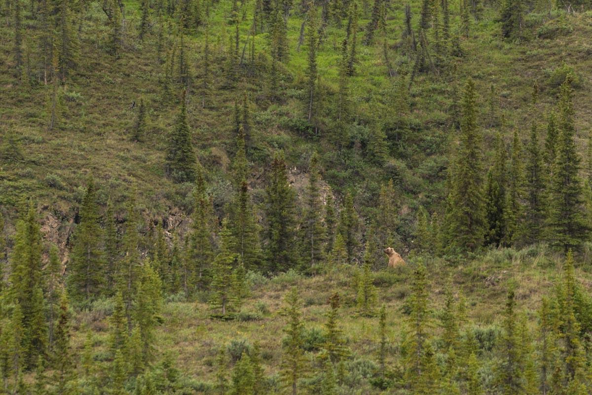Grizzly Bear Ivavik National Par