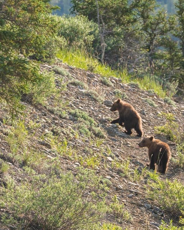 grizzly bear cubs ivavik