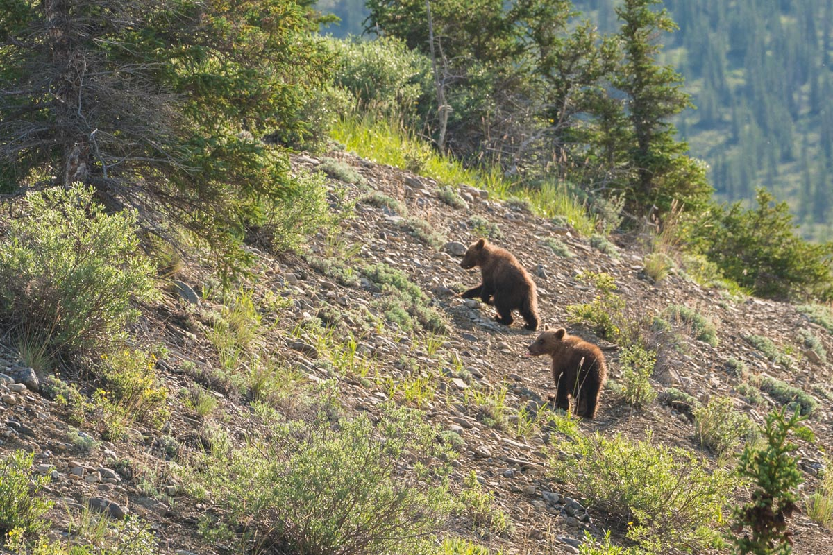 grizzly bear cubs ivavik