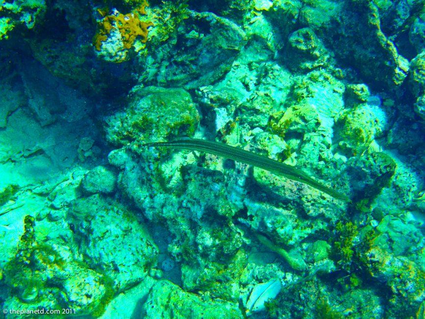 trumpet-fish-coral-jamaica