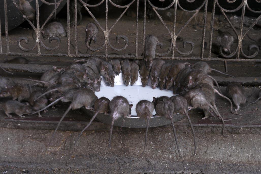 rat temple karni mata rats drinking mild
