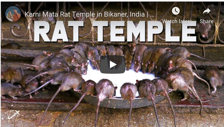 karni mata rat temple rajasthan