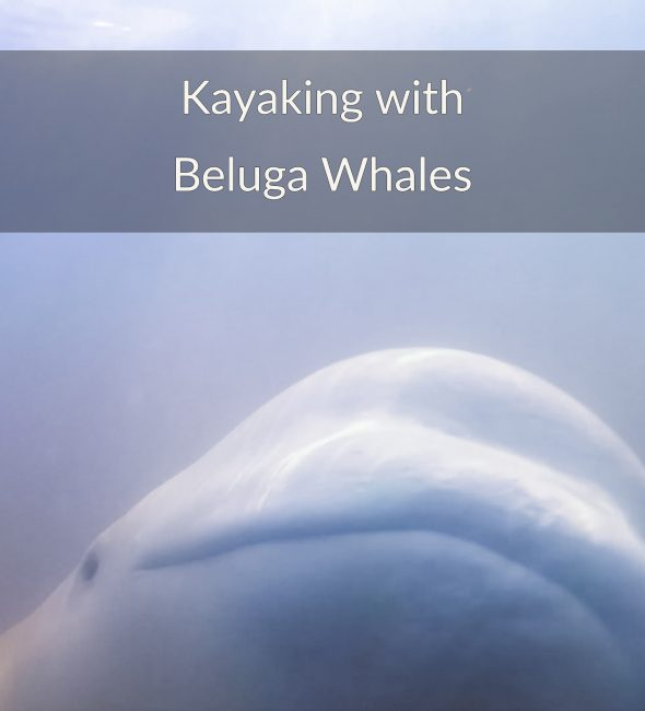 beluga whales kayaking adventure