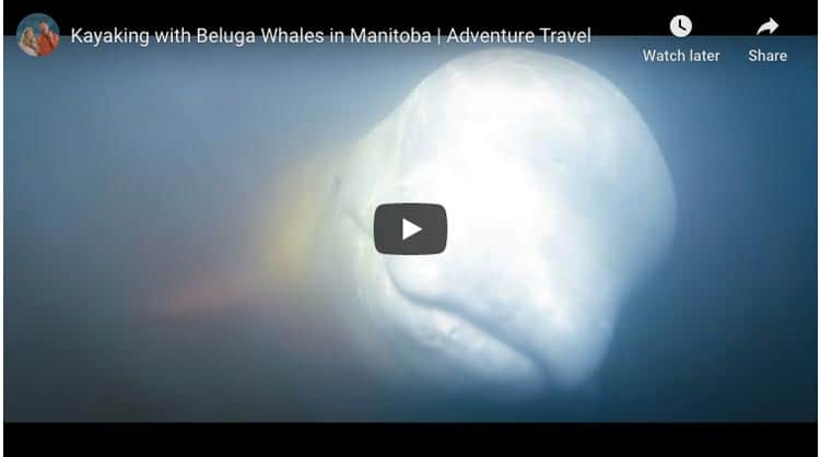 kayak with beluga whales in churchill manitoba