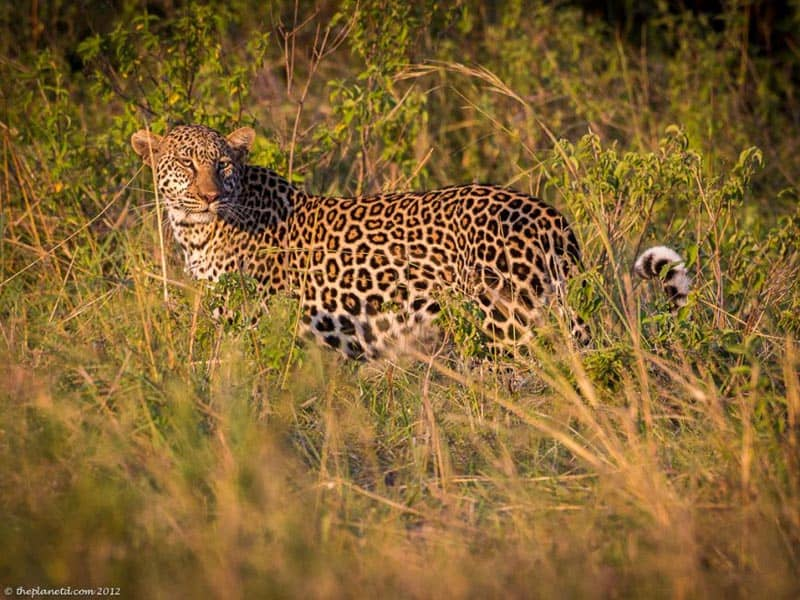 kenya leopard in grass