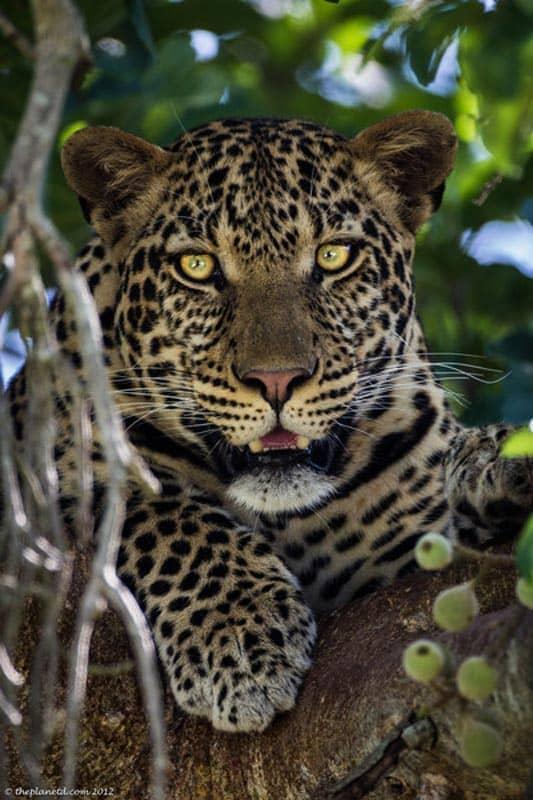 Kenya pictures - leopard in tree