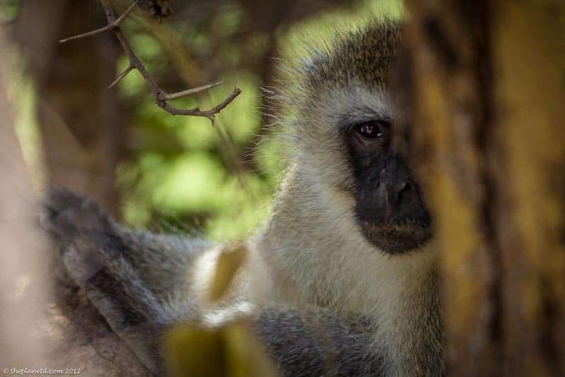 wildlife photography monkey in kenya