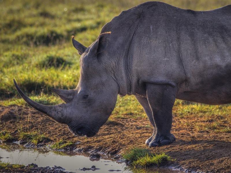 rhino of kenya