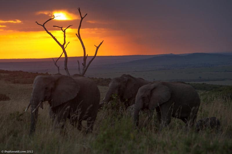 elephants walking on safari in Kenya