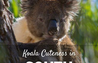 koalas South Australia
