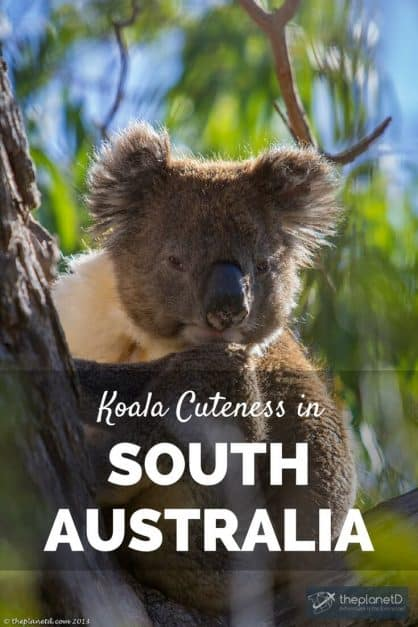Koalas are cute. That's all there is to it. We really wanted to see a Koala in the wild when visiting South Australia. It turns out, that we saw many. Koalas South Australia