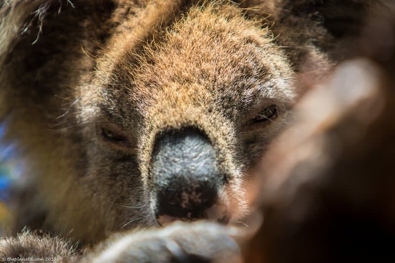 close up of a koala in South Australia