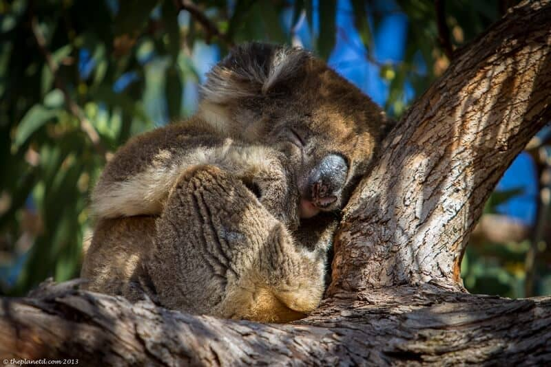 a sleeping koala in South Australia