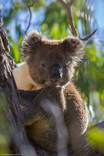 koalas South Australia - looking sleepy in the trees