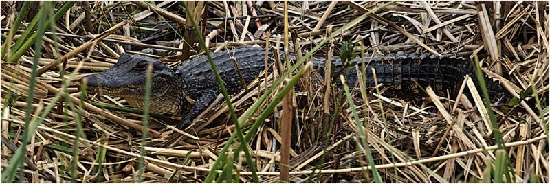 crocodile mardi gras