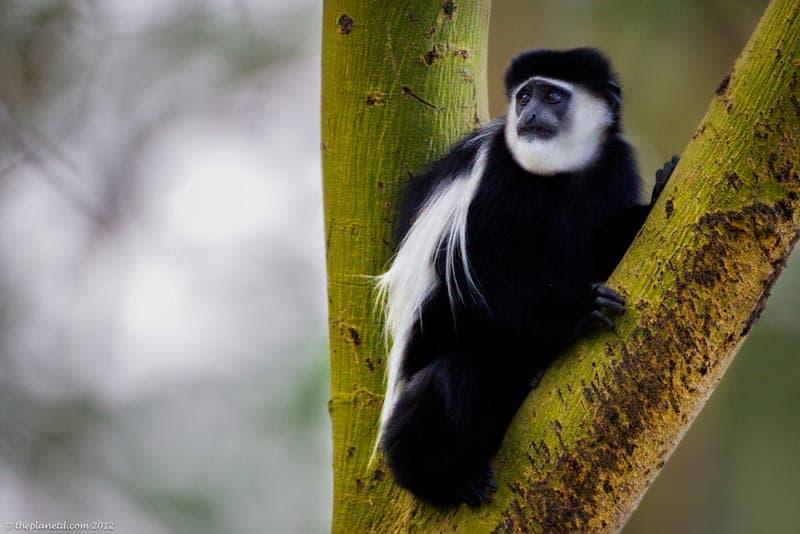 monkey of Kenya