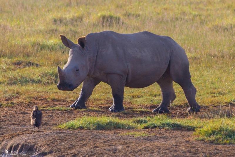 rhino and a bird in Kenya's Nakuru Lake