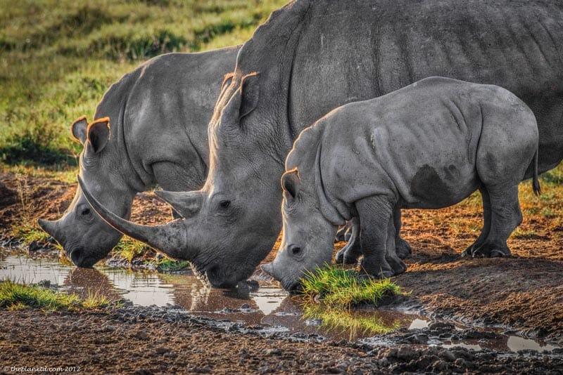 white rhinos kenya