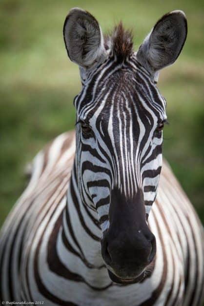 zebra on safari in Kenya