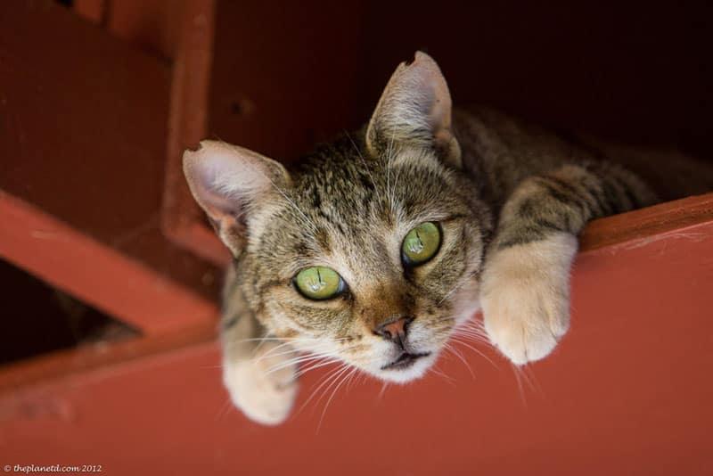 lanai pictures cat