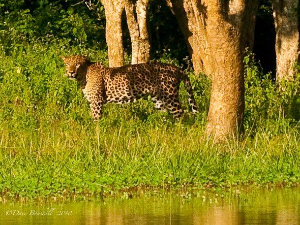 sri lanka photos leopard in yala