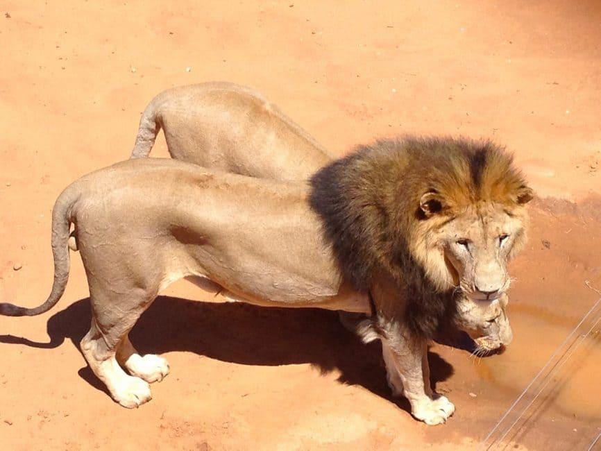 N/a'ankuse Foundation lions