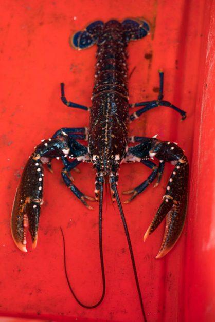 lobster in bin