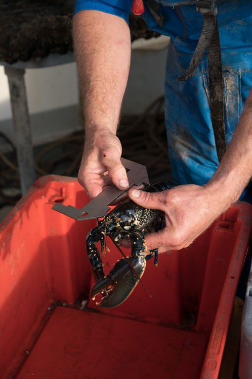 cleaning lobster