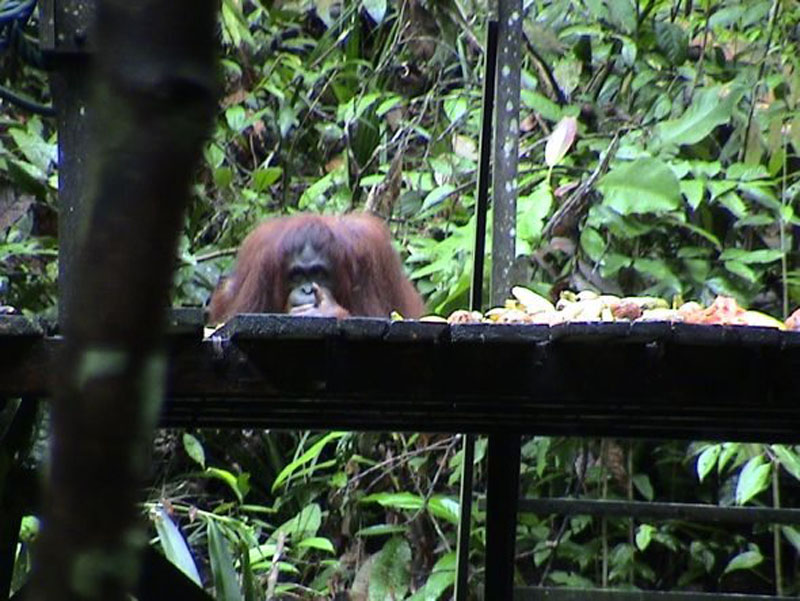 bananas malaysia