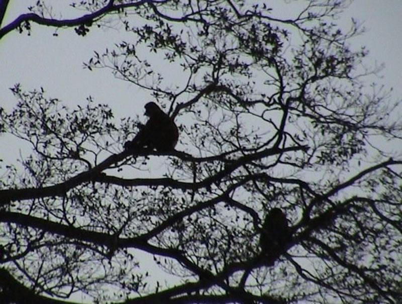monkeys borneo