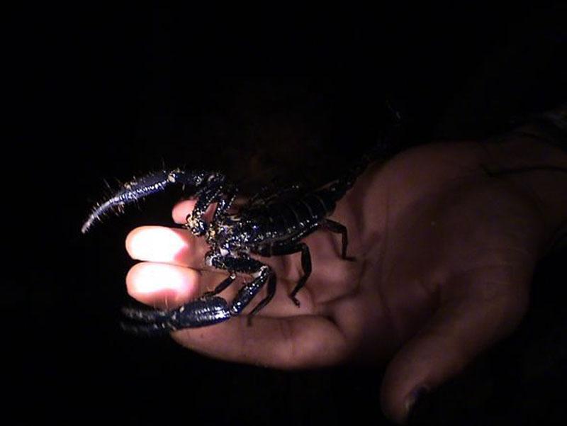 scorpion borneo
