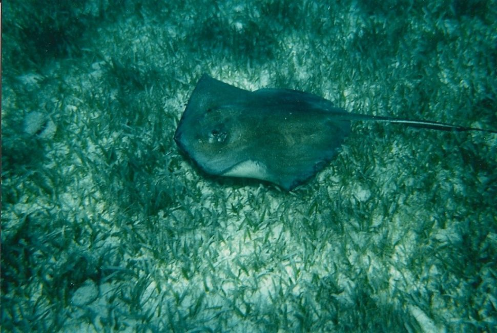 Manta Ray at Shark Ray Alley
