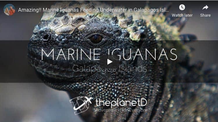 wildlife encounters | marine iguanas