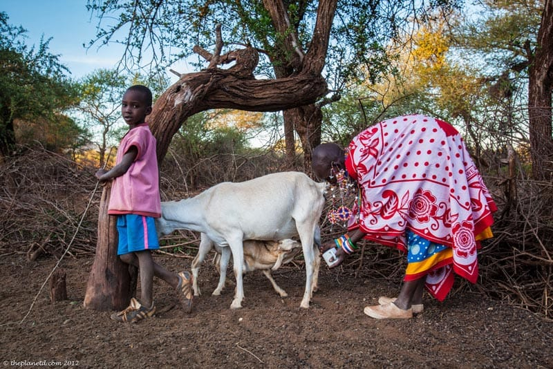 maasia mother and child milking goat