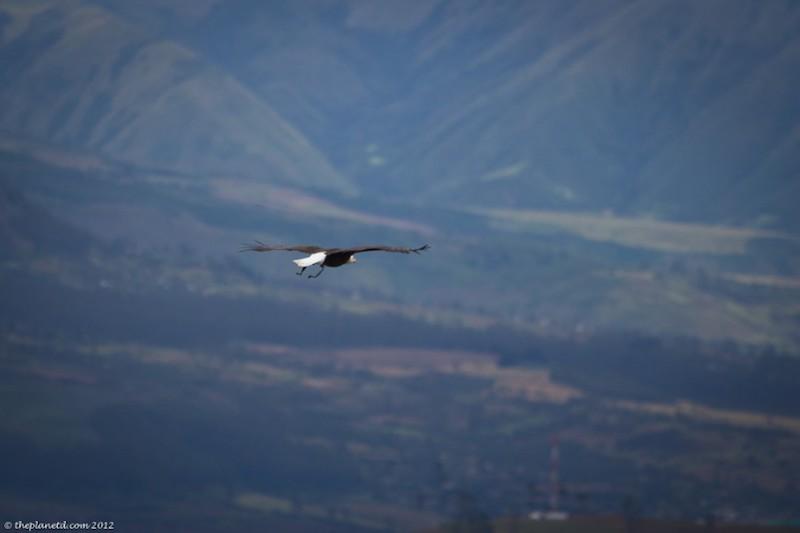 met a condor flying