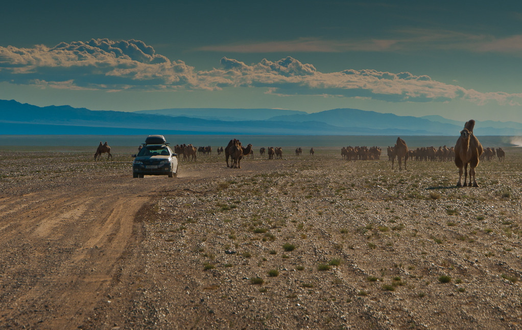 mongol-rally-camels-car-mongolia