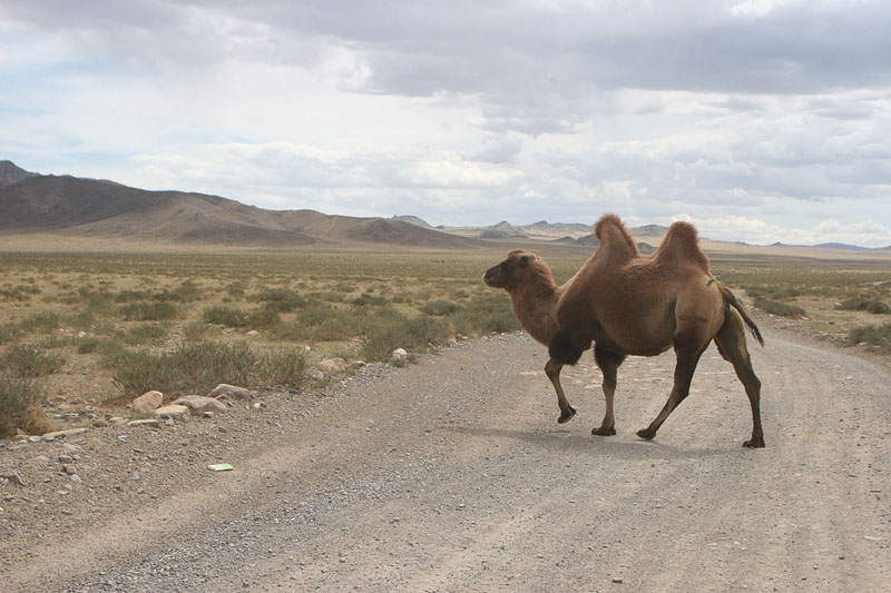 mongolia recap camel