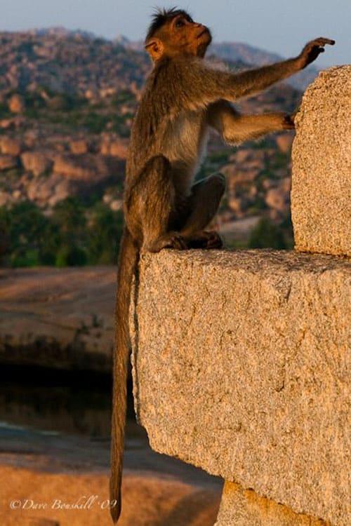 monkey on ruins in hampi