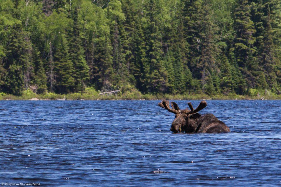 moose-algonqiuin-park-ontario-1