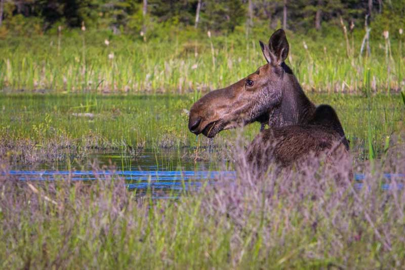 algonquin moose | where to find moose in canada