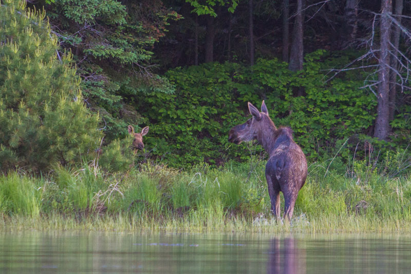 moose safari lake