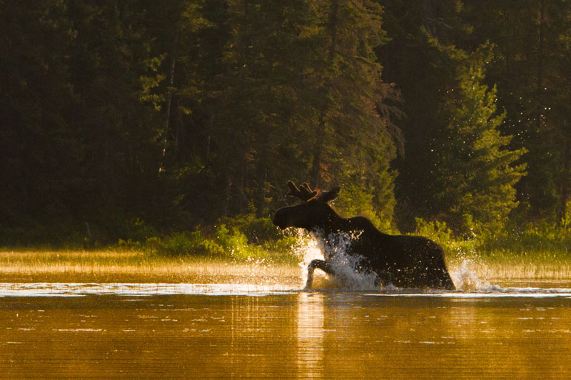 moose splash