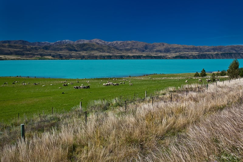 new zealand by campervan sheep
