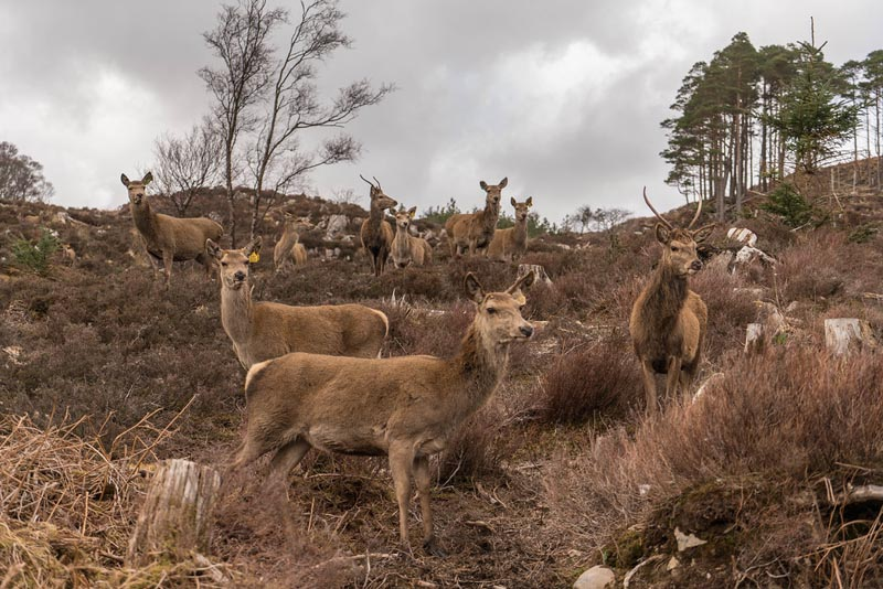 reraig forest deer herd