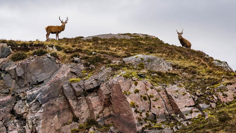Stags on a hill in scotland