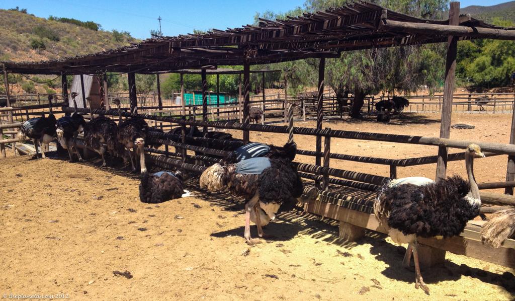 ostrich farm south africa