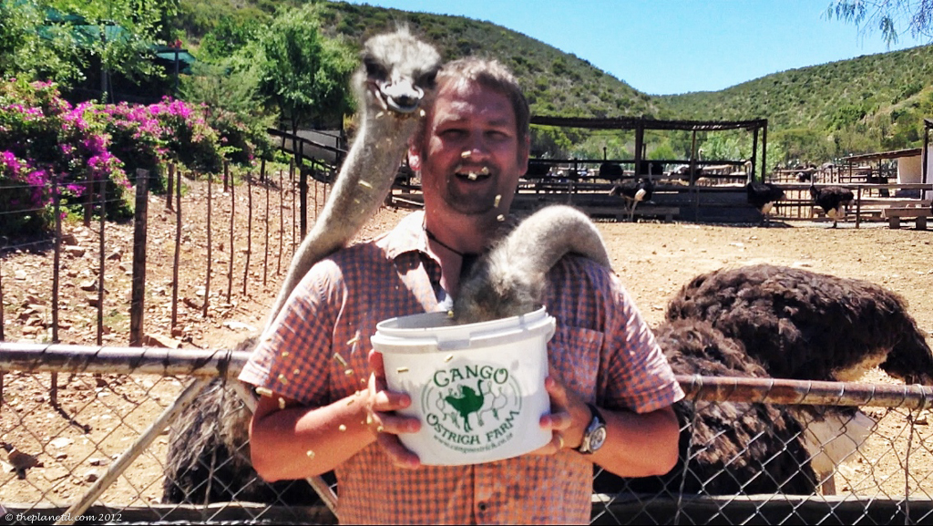 ostrich Riding south africa-3