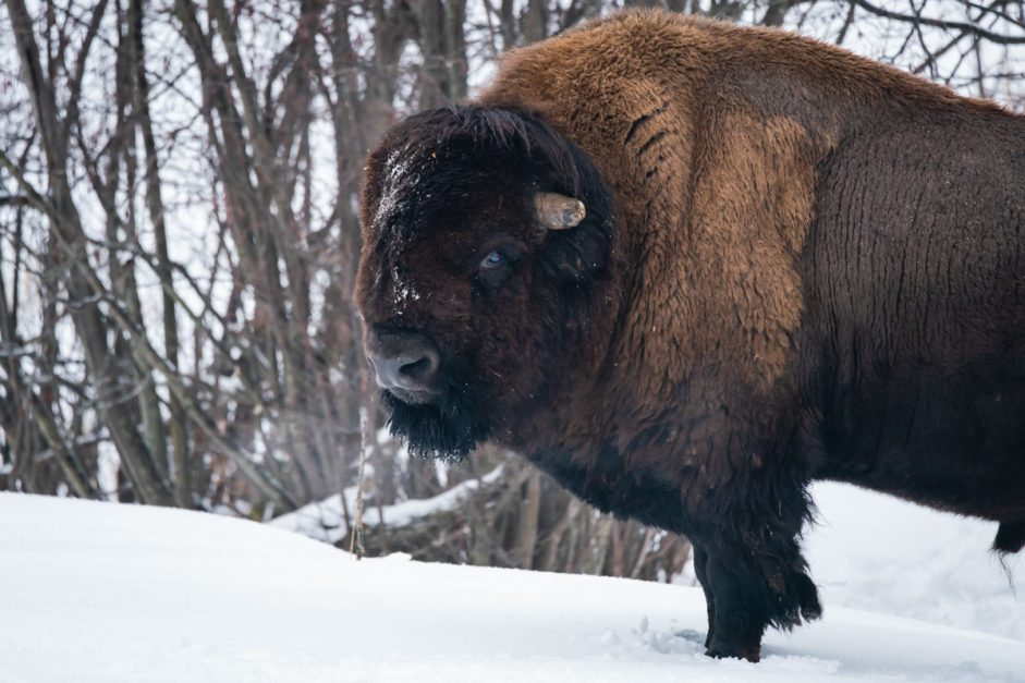 Bison at PArc Omega Winter Attractions Ottawa